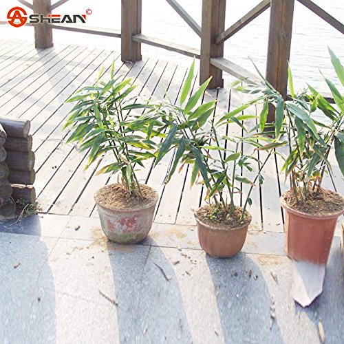 Ginger Vegetable Seeds Zingiber officinale Graines Balcon Usine Légumes Rillettes 100 particules / lot