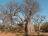 New Home Garten Werk 2 Samen Adansonia Digitata Baobab, Weinstein-Baum-Samen-freies Verschiffen