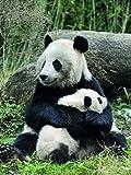 Affiche 30x40 cm Panda géant et son petit / Giant panda mother and baby / Großer Panda mit Jungem Eric BACCEGA