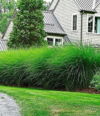 BALDUR-Garten Hohe Ziergräser-Kollektion,4 Pflanzen von Baldur-Garten bei Du und dein Garten