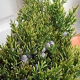 Juniperus virginiana var.helle - Enebro de Virginia - Maceta de 5Litros