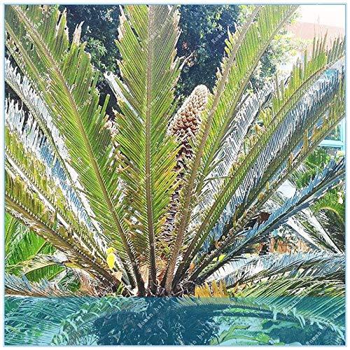 pinkdose zlking sago palm tree cycas revoluta fossile tropicale facile da coltivare cycad bonsai tree for indoor plant 10pcs