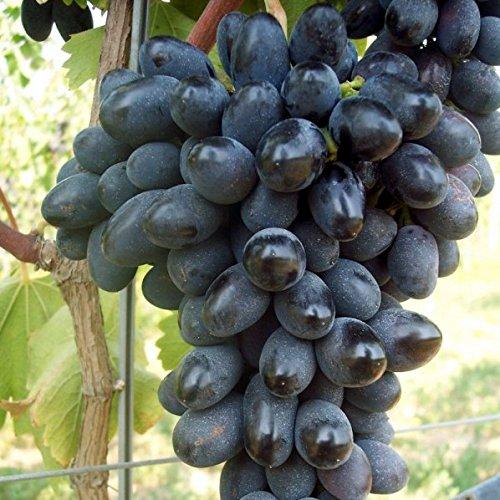 Vivai le georgiche uva da tavola nera black magic - Vivai rauscedo uva da tavola ...
