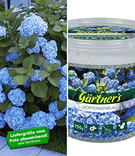 BALDUR-Garten Bauern-Hortensie 'Générale Vicomtesse de Vibraye' Hydrangea macrophylla 1 Pflanze und Dünger 'Hortensien-Blau' 1 kg