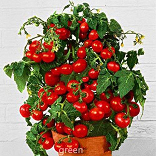 100pcs/pack. Semences de tomates de poire semences de légume de couleur rouge pour le jardin de DIY