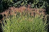 Zebra Gras, Maiden Gras Samen - Chinaschilf