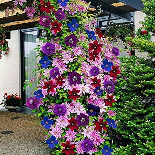 Delaman Blumensamen Clematis Kletterpflanzen Samen, Mischfarben, 100Pcs, Wunderbare Große Blüten