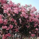 Nerium oleander (Oleandro Rosa) [Vaso Ø24cm]