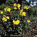 Nachtkerze Frühlingsgold - Oenothera fruticosa von Baumschulen bei Du und dein Garten