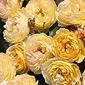 Chateau de Cherverny® ADR Rose Beetrose 6L Co. von Weber-Rosen auf Du und dein Garten