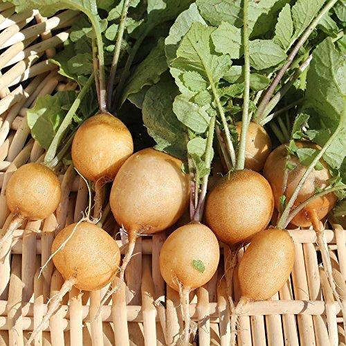 200 Samen Zlata Radieschen - gelbe Haut, mildwürziger Geschmack