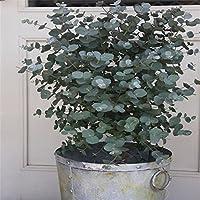 WuWxiuzhzhuo - 30 Semillas de árbol de eucalipto, Decoración para el hogar