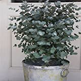 WuWxiuzhzhuo 30Stück Eukalyptus Tree Seeds