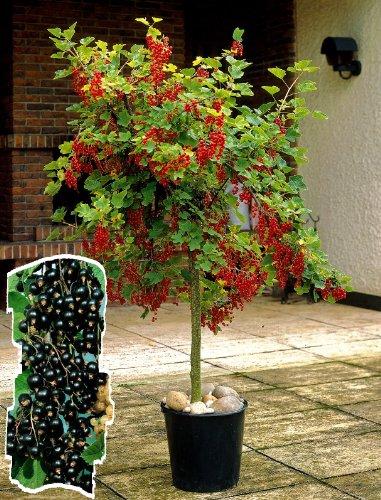 Johannisbeer-Stämmchen Silvergrieters Schwarze® schwarz. 1 Pflanze - zu dem Artikel bekommen Sie gratis ein Paar Handschuhe für die Gartenarbeit dazu