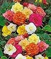 BALDUR-Garten Duft-Begonien 5 Stück Knollenbegonien von Baldur-Garten - Du und dein Garten