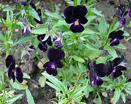 Horn-Veilchen - Viola cornuta - Viola Sawyers Black - 20 Samen