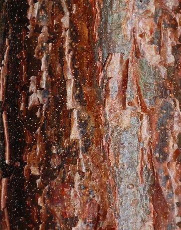 Bursera simaruba - Gommier rouge - 10 graines