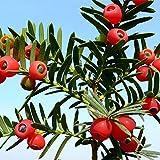 AGROBITS Junquillo + Kamuning Semillas: clavel colorido y Mimosa semillas de flores plantas del jardín multicolor Decora