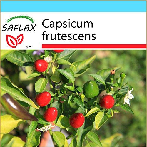 SAFLAX - Kit cadeau - Piment Red Finger - 25 graines - Capsicum frutescens