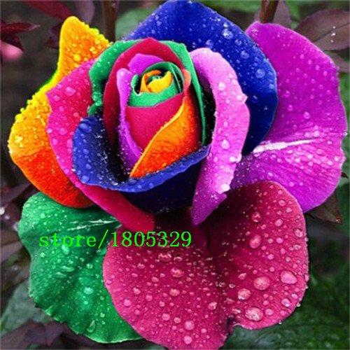 100 Rose Seeds 9 Packs Chaque couleur 100 Graines -DIY Accueil Jardinage Pot Balcon & Jardin Parfumé Fleur Plante Bonsai Décoration
