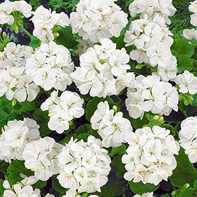Geranien, stehend , 3x rot+3x rosa + 3x weiß blühend, 12 cm Topf von Amazon.de Pflanzenservice bei Du und dein Garten