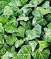 BALDUR-Garten Winterharte Efeu Pflanze 'Baltica', 3 Pflanzen von Baldur-Garten - Du und dein Garten