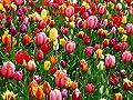 100 Stk.Tulpen Blumenzwiebeln Mix in Blühfolge, Größe 8-9,5 (Pflanzgut) von Krull Pflanzenhandel auf Du und dein Garten