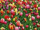 200 Stk.Tulpen Blumenzwiebeln Mix in Blühfolge, Größe 9-10,5