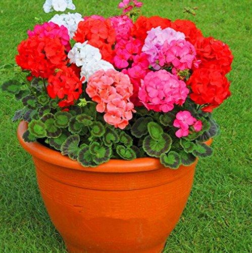 Deux couleurs Rouge Blanc univalve Géranium Graines Graines de fleurs vivaces Pelargonium peltatum Semences pour 100 graines Pièces d'intérieur / Sac 10