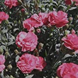 lichtnelke - Landnelke (Dianthus caryophyllus) Farbmischung