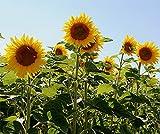 Bobby-Seeds Riesensonnenblume Samen Titan Portion