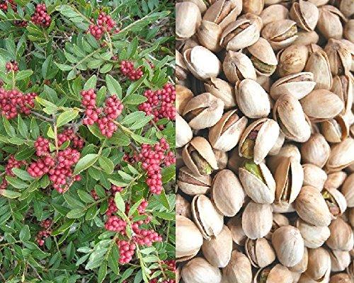 pistachio-pistacia-fruit-nut-tree-supplied-in-a-2-litre-pot