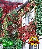 BALDUR-Garten Wilder Wein 'Veitchii', 3 Pflanzen Parthenocissus