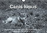 Canis lupus (Wandkalender 2018 DIN A4 quer): Impressionen in schwarz-weiss aus dem Leben der Wölfe (Monatskalender, 14 Seiten ) (CALVENDO Tiere) [Kalender] [Apr 01, 2017] Di Chito, Ursula
