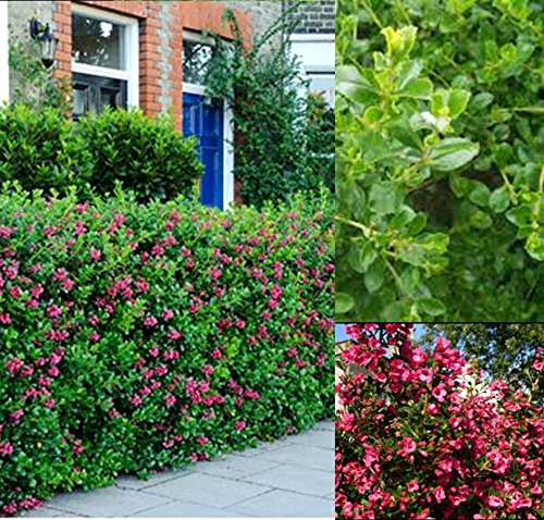 6x-escallonia-hedge-plants-evergreen-bushy-dark-pink-flowers-9cm-strong-shrubs