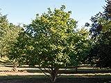 Feldahorn - Acer campestre - Containerware 100 - 125 cm - Garten von Ehren®