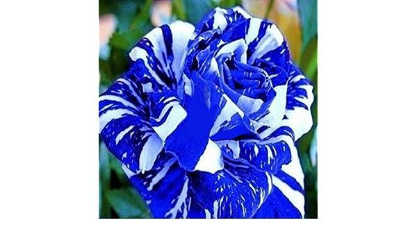 blue rose strip