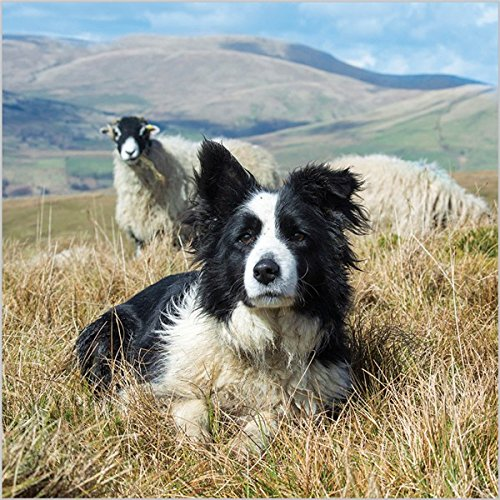 photographic-greeting-card-aba8919-blank-birthday-border-collie-swaledale-ewes-bbc-countryfile