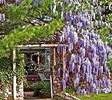 Blauregen Wisteria floribunda Bonsai-geeignet 5 Samen
