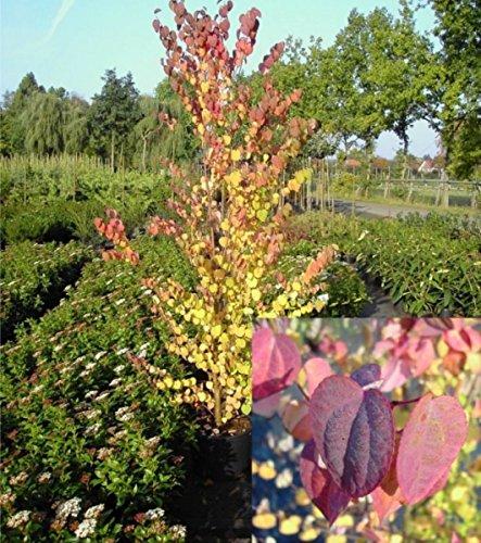 Kuchenbaum-Katsurabaum - Cercidiphyllum japonicum - lebkuchengleicher Duft, grandiose Herbstfärbung, 60-80 cm