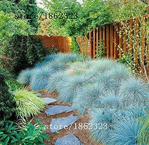 Bleu fétuque Seeds - (Festuca glauca) vivaces rustiques ornementaux belles graines d'herbe pour jardinières de fleurs en pot 50pcs