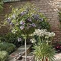 """Standard Hibiscus Tree """"Marina Blue"""" 5L pot 1M tall"""