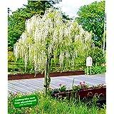 Suchergebnis Auf Amazonde Für Zierbaum Winterhart Garten