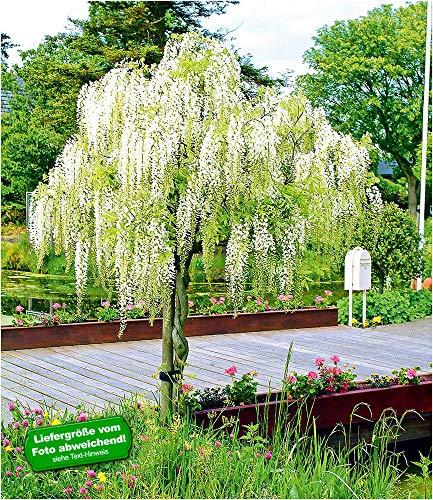 """Weißes Blauregen-Stämmchen\""""Alba\"""",1 Pflanze"""
