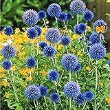 EgBert 100 Pz Gigante Cipolla Allium Giganteum Pianta Semi Casa Giardino Piante Fiore Colorato Seme - 2
