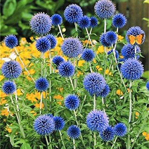 Inovey 100 Pcs Oignon Géant Allium Giganteum Plantes Semences Maison Jardin Plantes Colorées Fleur De Fleurs - 3