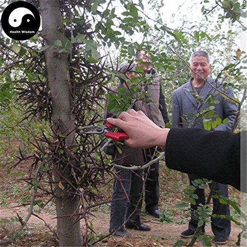 Kaufen Gleditsia Baumsamen 240pcs Pflanze Gleditsia sinensis Baum für Honeylocust