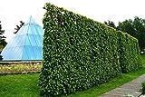 Hainbuche Hainbuchenhecke Wurzelware 80-120 cm hoch im Rabatt-Paket - Carpinus betulus floranza® 10 Stück
