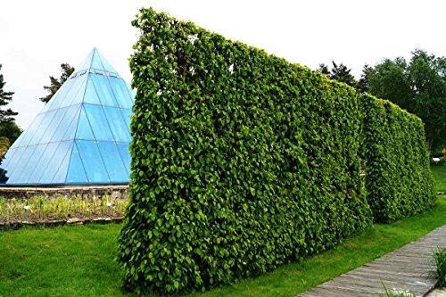 Hainbuche Hainbuchenhecke Wurzelware 120-150 cm hoch 10 Stück im Rabatt-Paket - Carpinus betulus floranza®