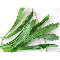 Petsdelite ® Culantro Seeds, Recao; Vietnamese Coriander, Thai Parsley, NGO GAI, Shadon Beni(1000 Seeds)